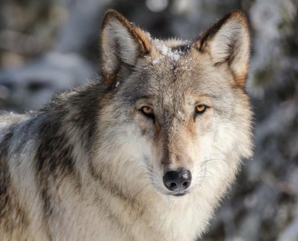 Волк-меломан В конце 50-х моя бабушка, тогда еще не бабушка, а молодая женщина работала в лесничестве. Утром она отправлялась в контору получать наряд. Километров пять по лесу. Шла обязательно с