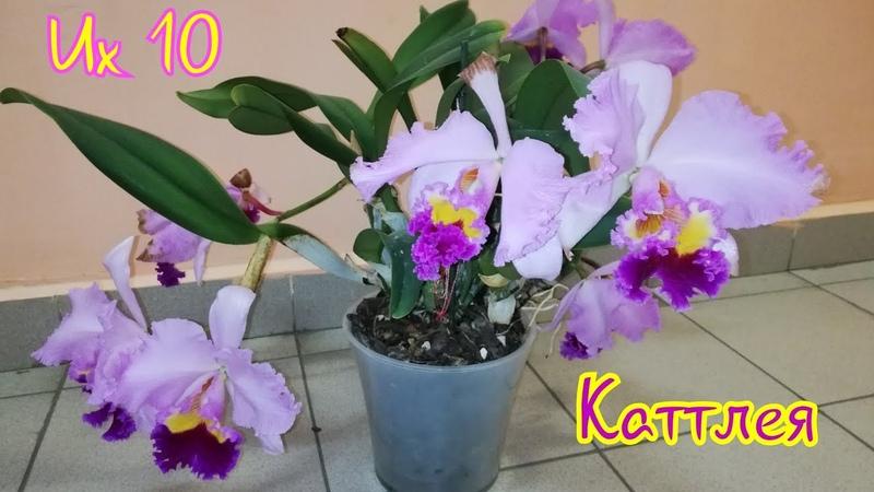 каттлея орхидея Каттлея Pamela Finney Москва