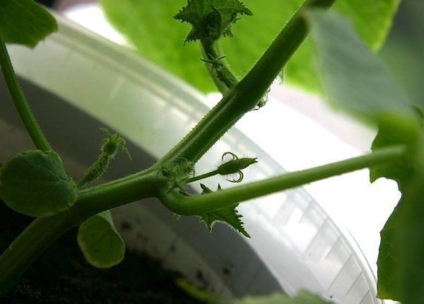 Как и зачем прищипывают огурцы Бывает, огородник увидит в магазине новый сорт, прочитает про его высокую урожайность, да и купит. Но летом не даёт огурец обещанных килограммов с куста. И тогда
