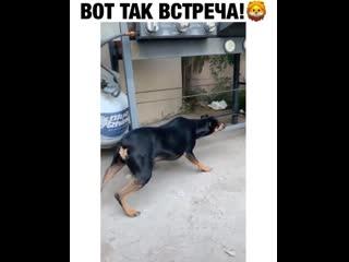 очень смелый пес!
