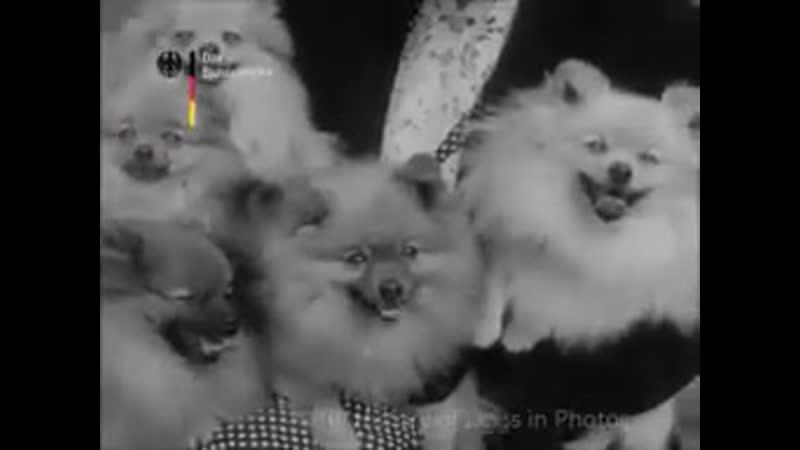 Dog Show 1952 Italy, San Remo
