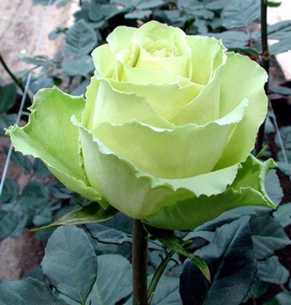 Палитра цветов А какие розы растут на вашем участке