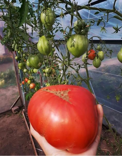 Подкормка томатов. Мой опыт.