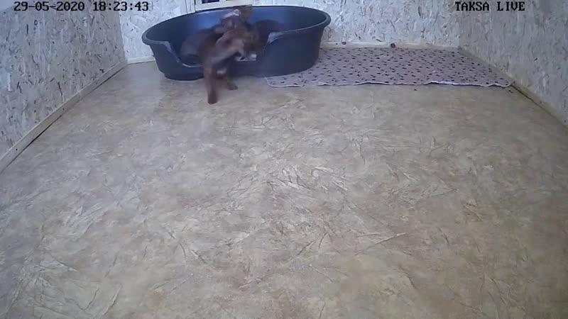 Щенки таксы онлайн Dachshund puppies online
