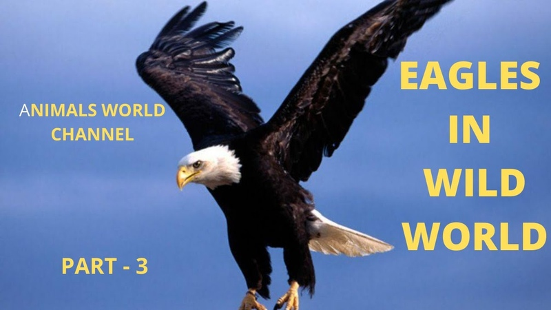 BBC Life and hunting of large birds hawks, eagles – Wildlife, Part 3 - YouTube