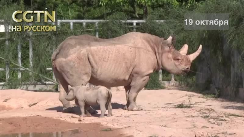 В Китае родился редчайший черный носорог