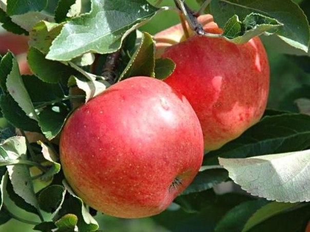 Интересное о яблоках Самым любимым фруктом древних греков и римлян было яблоко.Снимать кожуру с яблок не очень полезно. Дело в том, что именно в ней содержится полезная для нашего организма