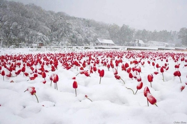 Тюльпаны под снегом Какая красота! Турция.