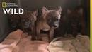 "Анонс передачи Секреты зоопарка серии Любовь дикой собаки Secrets of the Zoo ""Dhole Lotta Love"" Nat Geo Wild"