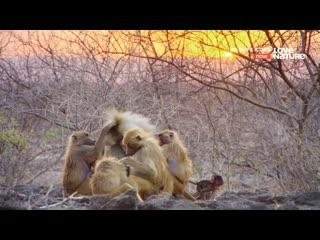 Love Nature. Гамадрилы Аваша. Городская служба спасения диких животных