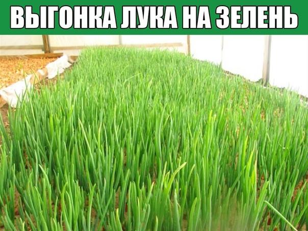 Выгонка лука на зелень