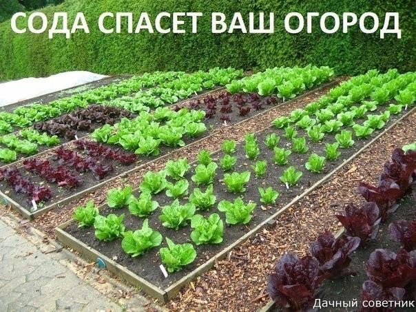 Сода спасёт ваш огород