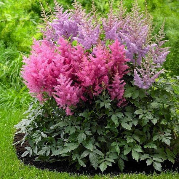 Прекрасная астильба Многолетнее растение имеет декоративную листву и красивое соцветие-метёлку, поэтому оно может стать украшением сада на долгие