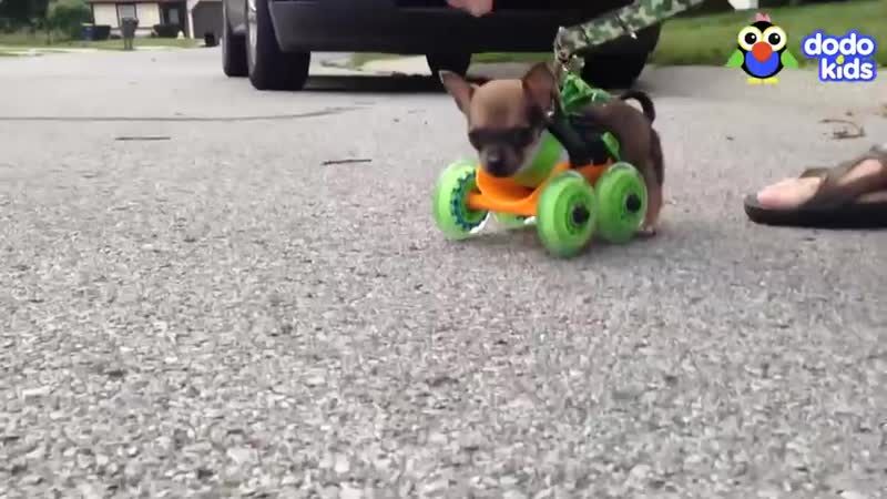 Little Dog With No Front Legs Gets The Tiniest Set of Wheels Animal Videos For Kids Dodo Kids
