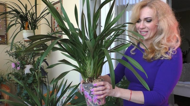 Орхидеи Африканский закат КРАСИВ НЕПОКОРНЫЙ цимбидуим БЛАГОДАРНЫЕ башмачки