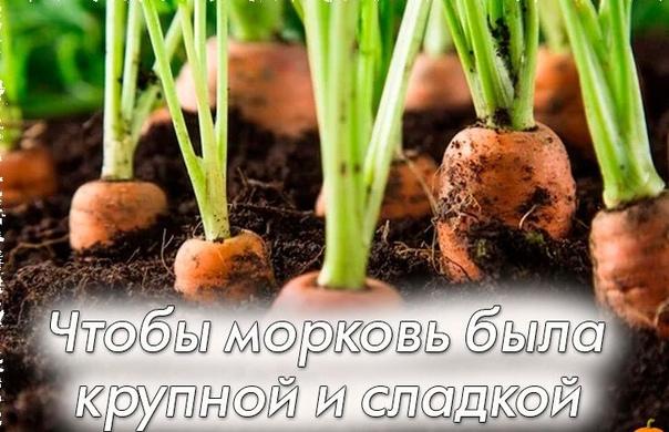 Минеральные удобрения и органика для сладкой, крупной моркови