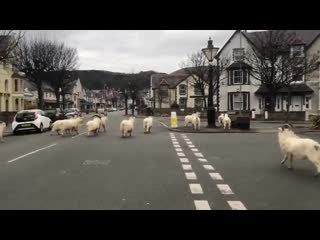 Just a bunch of mountain goats taking over a self-isolating town in Wales