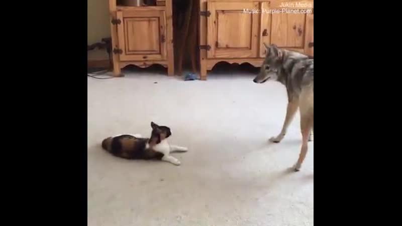 Про кота и койота