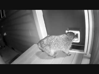 В США кот отмудохал енота, когда тот попытался пробраться в дом.