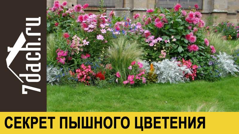 🌼 Как гарантированно получить роскошные цветы на своих клумбах - 7 дач