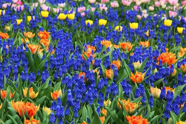Гиацинты - эти разноцветные цветы год за годом наполняют наш сад сочными весенними красками и незабываемым чарующим ароматом