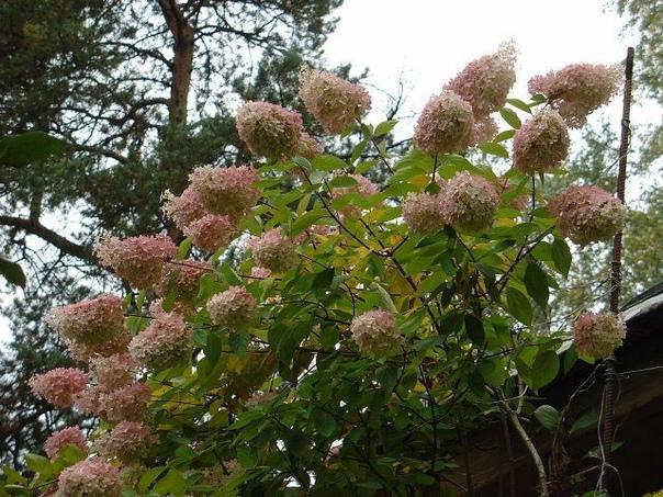 Уход за гортензией осенью: правильная подготовка куста к зиме.