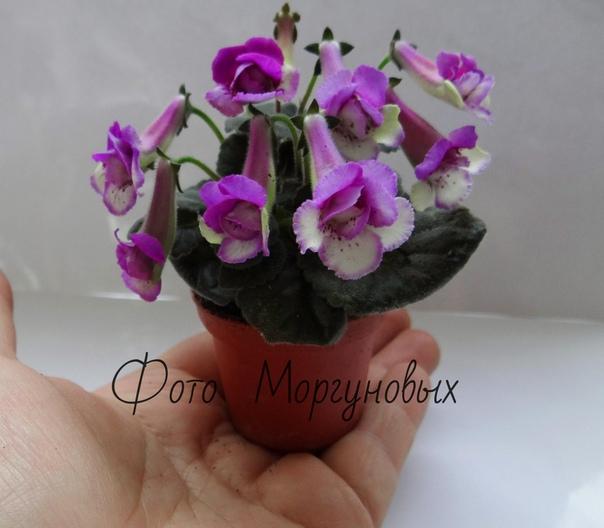 Знакомьтесь: достаточно редкое и новое, очень интересное комнатное растение минисиннингия (Mini Sinningia