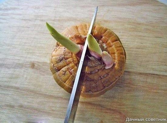 РАЗМНОЖЕНИЕ ГЛАДИОЛУСОВ: Как резать луковицу гладиолусаРезка луковиц гладиолуса это общеизвестный прием. Для резки клубнелуковиц пригодны далеко не все сорта, а для некоторых это вообще