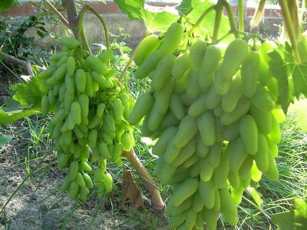 РЕКОМЕНДАЦИИ ПО ВЫРАЩИВАНИЮ ВИНОГРАДА. Многие начинающие виноградари задаются вопросом, как формировать виноград, чтобы он приносил большие, а главное постоянные урожаи. Ведь именно от