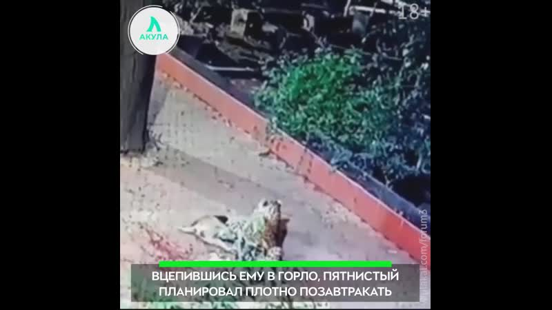 Нападение леопарда на собаку   АКУЛА