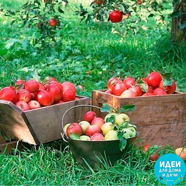 Как правильно удобрять яблони 5 полезных советов