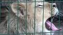 Львенок Симба, которого спасли вчелябинском зооприюте, готовится отправиться вАфрику. Новости. Первый канал
