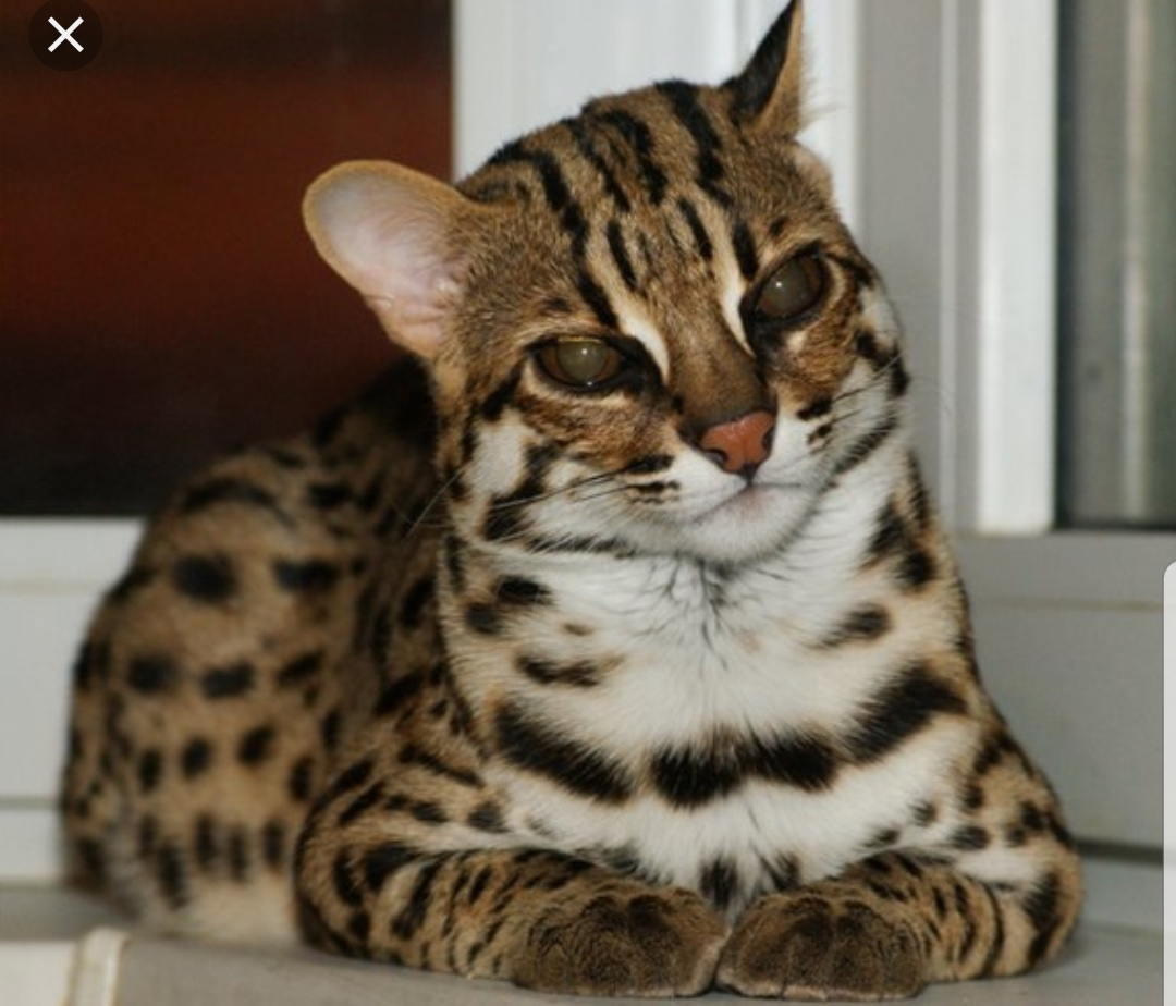 дикий бенгальский кот