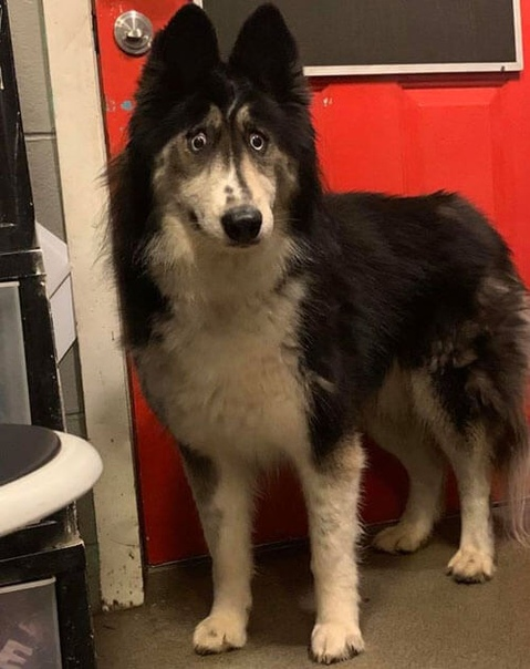 Необычный пёс. Сотрудники приюта для животных в Нью-Джерси уже около двух лет пытались найти дом для хаски по имени Джубили, но всё было тщетно.Тогда они решили пойти на крайний шаг, под