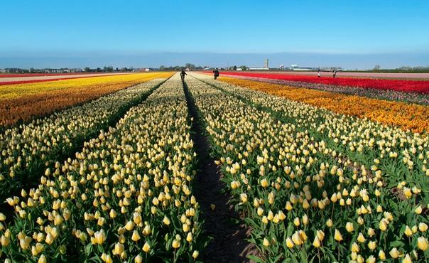 Работа на плантациях тюльпанов в Нидерландах рабство или работа мечты Невозможно представить современную Голландию без цветочного бизнеса. Мы привыкли к обилию тюльпанов на 8 марта и другие