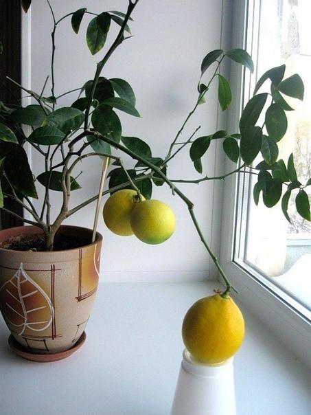 Фрукты на подоконнике Выращивать экзотические растения в домашних условиях, особенно в нашей полосе, конечно, трудно, но еще и очень интересно. Непривычная экзотика радует глаз, вызывает