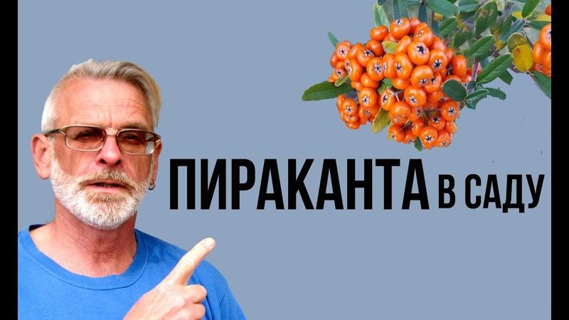 ПИРАКАНТА неприхотливый кустарник Посадка и уход Игорь Билевич