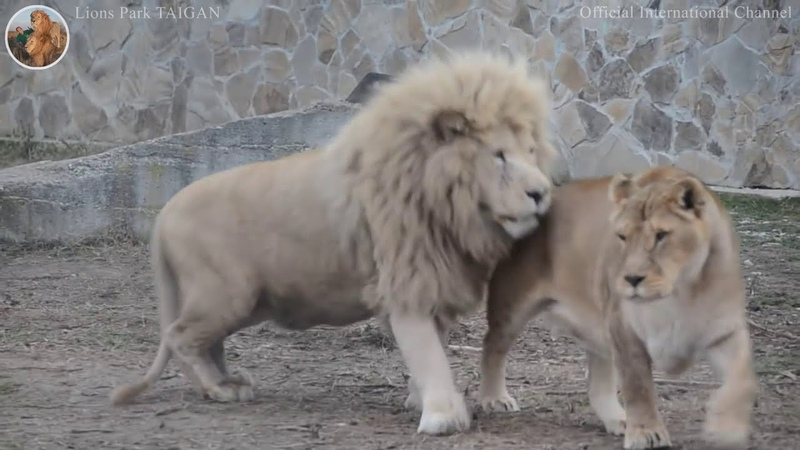 The snub nosed charming bully lion Chip Lions Park Taigan