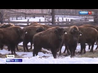 В Якутию прилетели бизоны из США и Канады