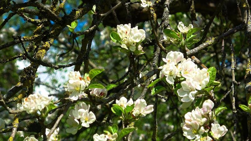Яблоневый сад в музее усадьбе И Е Репина Здравнёво полная версия