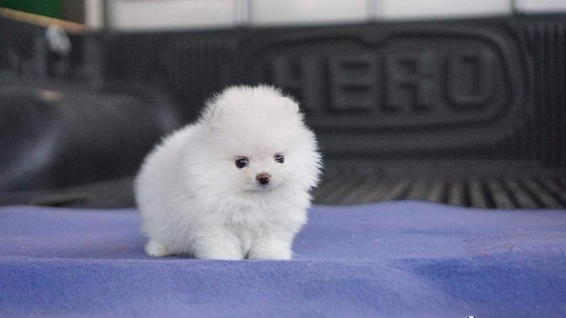 Cute Pomeranian Teacup Puppies Compilation