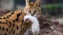 Африканский охотник на змей — дикий СЕРВАЛ. Интересные факты о прыгучей, дикой кошке Сервал.