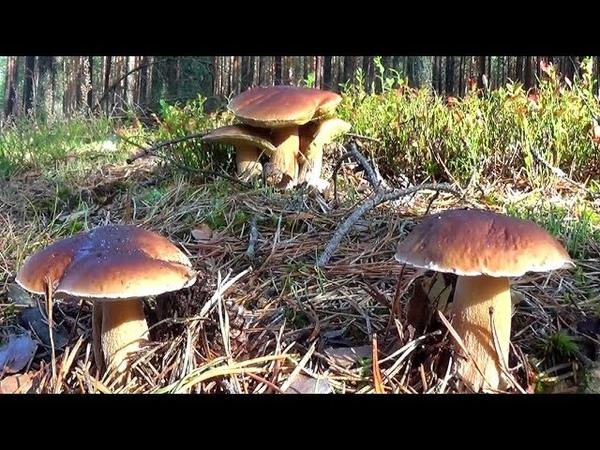 Giełda samochodowa w lesie Sobota to najgorszy dzień na grzyby 4 kosze borowików