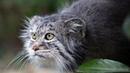 Манул - самый ДИКИЙ кот в мире. Интересные факты о мануле.