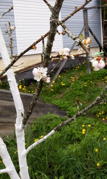 Подскажите, что с черешней Почки никак распустить не может .. Подгрызли, как ей помочь... Или уже все...С яблоней не могу понять, что такое Цветы есть, а листьев нет. Чем то болеет....Буду