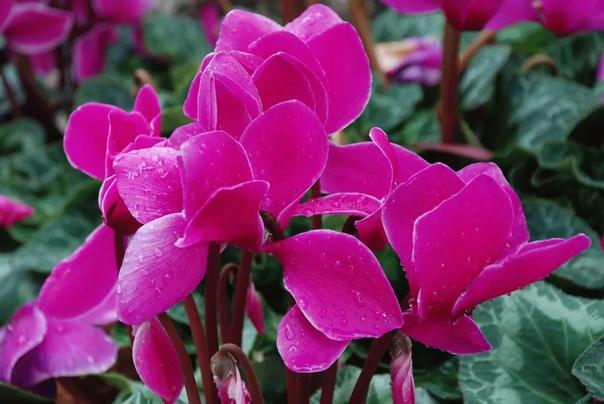 СРЕДСТВО ОТ ГАЙМОРИТА Итак, 1. Необходим цветочек, называется цикломен. В советское время он бурно произрастал у многих на подоконниках. Сейчас его не трудно приобрести в цветочном магазине. НО: