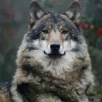 Волчара Нохчий