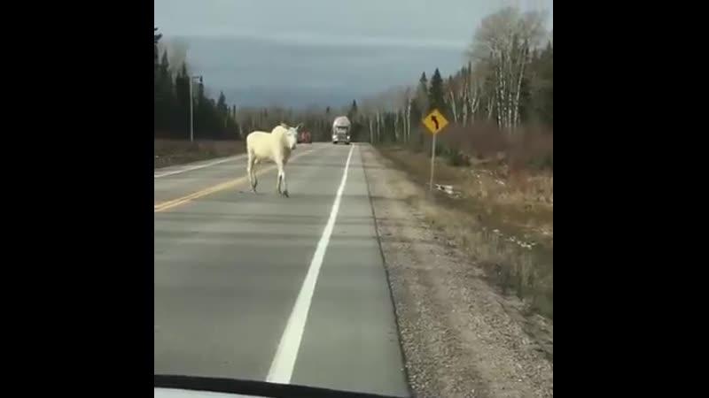 Белые лоси в Финляндии