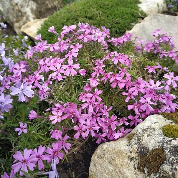 Красивые флоксыА вам нравятся Покидайте фото своих садовых цветов в комментарии (источник: gofazenda)