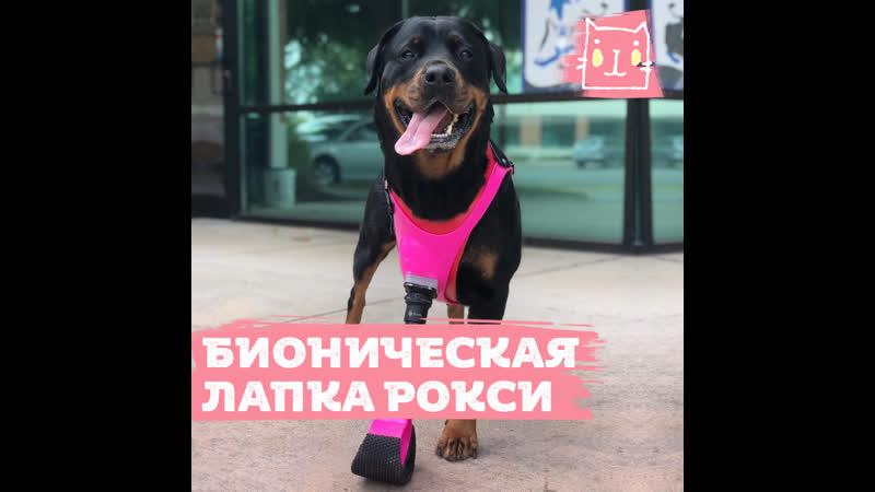 Ротвейлер Рокси с розовым бионическим протезом